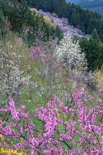 西吉野町の桃の花とハクモクレンの写真素材 [FYI02526590]