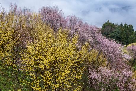 西吉野町のサンシュユと啓翁桜の写真素材 [FYI02526592]