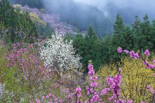 西吉野町の桃の花とハクモクレンの写真素材 [FYI02526735]