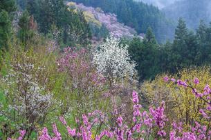 西吉野町の桃の花とハクモクレンの写真素材 [FYI02526769]