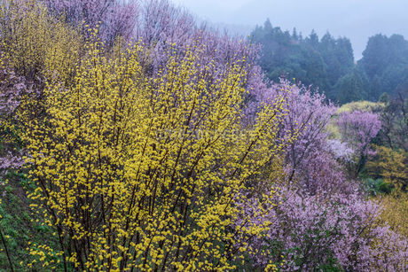 西吉野町のサンシュユと啓翁桜の写真素材 [FYI02526805]