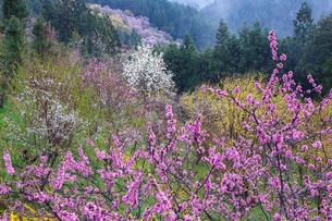 西吉野町の桃の花とハクモクレンの写真素材 [FYI02527095]