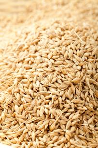 大麦の写真素材 [FYI02527852]