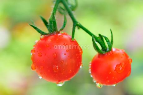 赤く熟したミニトマトの写真素材 [FYI02528986]