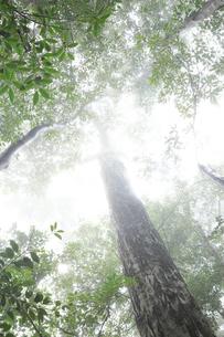 霧に包まれたカシの木の写真素材 [FYI02529097]