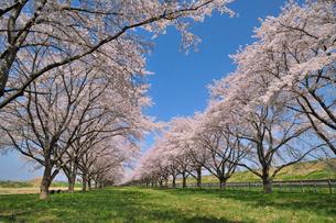 水沢競馬場の桜の写真素材 [FYI02529394]