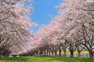 水沢競馬場の桜の写真素材 [FYI02529637]