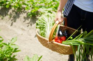畑でカゴに入れた野菜を持つ女性の手元の写真素材 [FYI02530504]