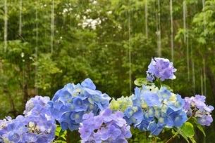 雨とアジサイの花と森の写真素材 [FYI02533658]