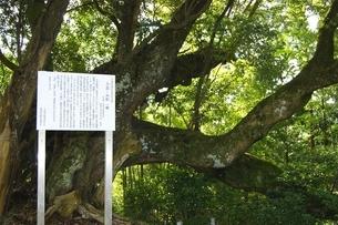 三島ノ白樫の写真素材 [FYI02534472]
