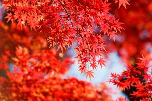 秋になり赤く紅葉したモミジの葉の写真素材 [FYI02535644]
