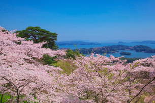 西行戻しの松公園の桜と松島の写真素材 [FYI02538417]