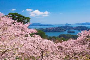 西行戻しの松公園の桜と松島の写真素材 [FYI02538552]