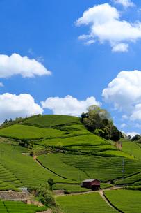 京都 和束町 宇治茶の茶畑の写真素材 [FYI02540939]