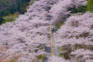 野呂山の桜並木の写真素材 [FYI02542384]