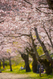 錦川沿いの桜並木の写真素材 [FYI02542610]