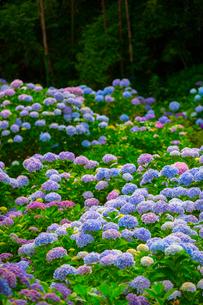 北浦の紫陽花寺の写真素材 [FYI02542775]