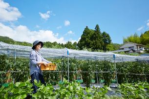畑でカゴを持って空を見上げる女性の写真素材 [FYI02543784]