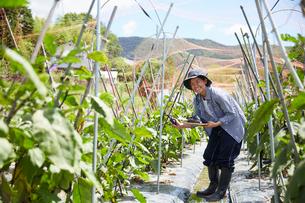 畑でナスを収穫して笑う女性の写真素材 [FYI02544639]
