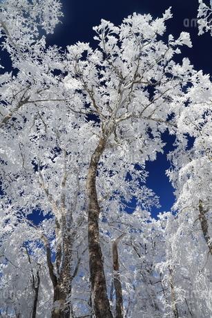 台高山脈の樹氷の写真素材 [FYI02546108]