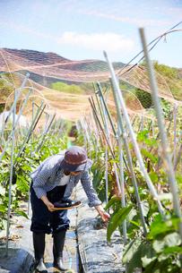 畑でナスを収穫する女性の写真素材 [FYI02546550]