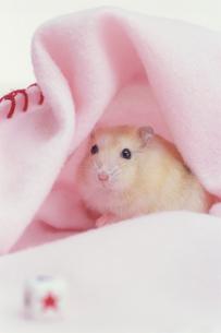 ピンクの毛布とハムスターの写真素材 [FYI02549544]