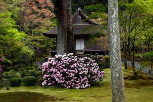 4月 シャクナゲの大原三千院 京都の春景色の写真素材 [FYI02556120]