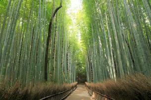 5月,新緑の竹林の道-京都嵯峨野の散策スポットの写真素材 [FYI02556231]
