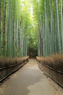 5月,新緑の竹林の道-京都嵯峨野の散策スポットの写真素材 [FYI02556467]
