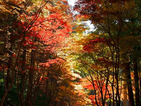 11月 紅葉の小国神社 秋彩の写真素材 [FYI02556504]