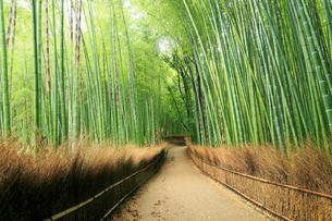 5月,新緑の竹林の道-京都嵯峨野の散策スポットの写真素材 [FYI02556594]