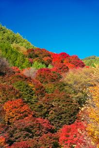 もみじ湖の紅葉の写真素材 [FYI02557090]