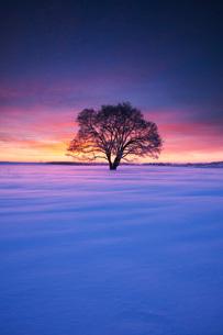 はるにれの木の朝の写真素材 [FYI02557275]