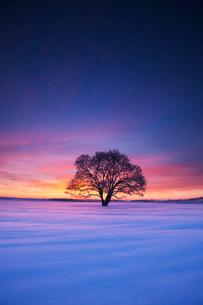はるにれの木の朝の写真素材 [FYI02557558]
