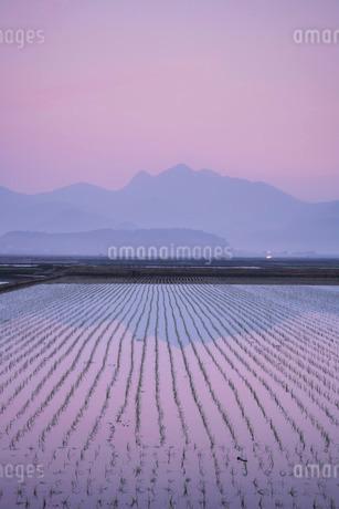 金峰山と水田の朝の写真素材 [FYI02558314]