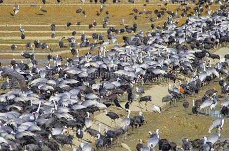 出水平野の鶴の写真素材 [FYI02558513]