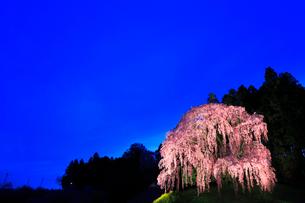 合戦場のシダレザクラ ライトアップ夜景の写真素材 [FYI02560497]
