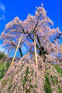 三春の滝桜の写真素材 [FYI02560616]