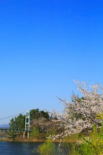 芦野公園の吊橋とサクラの写真素材 [FYI02560641]