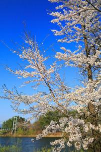 芦野公園の吊橋とサクラの写真素材 [FYI02560651]