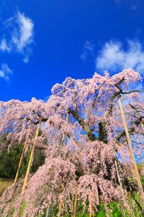 三春の滝桜の写真素材 [FYI02560777]