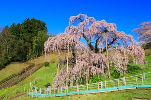 三春の滝桜の写真素材 [FYI02560814]