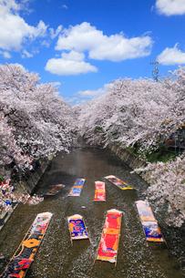 五条川のんぼり洗いとサクラ並木の写真素材 [FYI02560901]