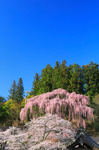福衆寺のシダレザクラの写真素材 [FYI02561633]