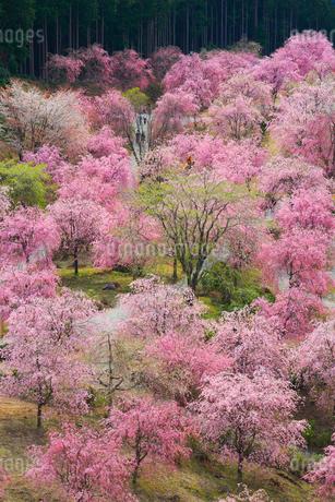 シダレザクラ咲く高見の郷の写真素材 [FYI02561636]