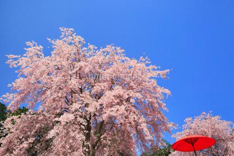 シダレザクラ咲く高見の郷の写真素材 [FYI02561680]