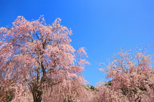シダレザクラ咲く高見の郷の写真素材 [FYI02561753]