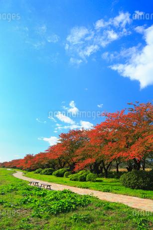北上展勝地 サクラ並木の紅葉の写真素材 [FYI02561757]