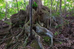奄美大島 金作原原生林のオキナワウラジロガシの写真素材 [FYI02561785]