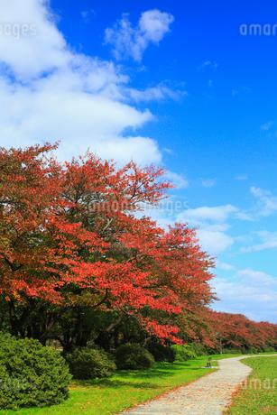 北上展勝地 サクラ並木の紅葉の写真素材 [FYI02561889]
